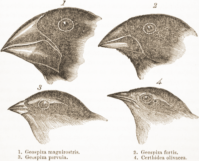 evolution of island finches by natural selection lab report For the finches on darwin island, doubled the size of the island, beaks, clutch, and population compared to the finches on wallace island for instance, the parameter of darwin island is 1 0 km, the size of wallace island is 0.